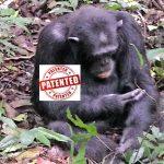 Irrsinn: Patente, sogar auf Schimpansen! 30 genmanipulierte Fischarten, GV-Kühe, Hühner und Schweine!