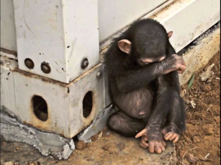 Der Illegale Globale Affenhandel Das Grausame Geschaft Mit Affen