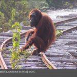 Chinesische Bulldozer haben für einen Staudamm die seltensten Orang Utans der Welt vernichtet!!