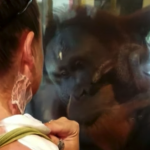 Herzzerreißende Szene, als ein Orang Utan auf eine Brandverletzte traf!