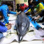 Besorgniserregend - Traurige Fotos zeigen, wie in Japan gefangene Delfine nach China zu boomenden Themenparks geflogen werden!