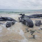 Massensterben der Wale geht weiter - 150 Wale in Australien gestrandet