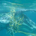Alarmierend! Massensterben von Meeresschildkröten weltweit! - Alarming numbers of dead turtles washed up