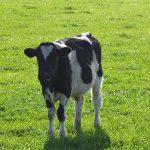 Auf der Welt herrschen Wahnsinn und Irrsinn - geklonte transgene Schafe, Schweine und Rinder  für die Profitgier!