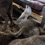 Australiens Geschäftsmodell Tierquälerei! Das schwimmende Todeslager! – On board the ship of death – Australia's live export