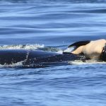 "Wie trauern Wale, nachdem sie ihr ""Baby"" verloren haben? Eine trauernde Orca trug ihr totes Baby für mehr als 24 Stunden - Grieving mother orca whale carried her dead calf for more than 24 hours"
