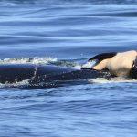 """Wie trauern Wale, nachdem sie ihr """"Baby"""" verloren haben? Eine trauernde Orca trug ihr totes Baby für mehr als 24 Stunden – Grieving mother orca whale carried her dead calf for more than 24 hours"""