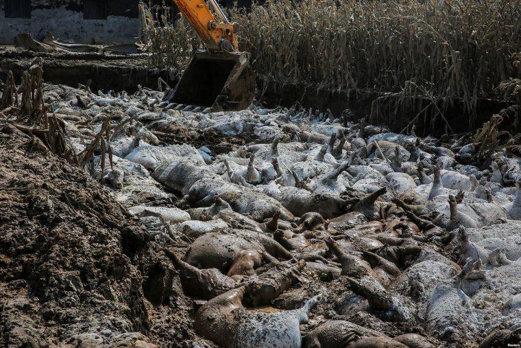 Schweine Lebendig Begraben