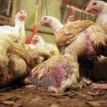 Wenn die Verbraucher wüssten, wie Hühner gezüchtet werden, würden sie ihr Fleisch nie wieder essen! - If consumers knew how farmed chickens were raised, they might never eat their meat again!