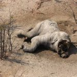 Fast 90 Elefanten wurden in Botswana tot wegen Elfenbein aufgefunden - Bodies Of Almost 90 Elephants Found Dead In Botswana