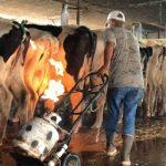 """""""Grausames Geheimnis"""" der Milchindustrie – männliche Kälber werden direkt nach der Geburt getötet und offene Flammen unter den Eutern der Kühe – Shocking Videos – Dairy's 'dirty secret' male calves being killed straight after birth and Udder Flaming on Cows"""