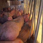 Grausam: Transporter überladen! Bei einem Tiertransport starben 109 von 180 Ferkeln - Stop Live Animal Transport!