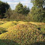 Wahnsinn wegen Überproduktion in Polen - 70 Tonnen Äpfel einfach vernichtet und Regierung will eine halbe Million Tonnen Äpfel vom Markt nehmen - Überproduktion drückt den Preis!