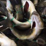 Essen Sie noch Fisch? Schreckliche Aufnahmen zeigen, wie Fische auf industriellen Farmen in Europa erstickten - 'Horrific' footage reveals fish suffocating to death on industrial farms in Europe