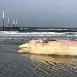 Jetzt vor der deutschen Küste: Zahl der toten Robben und Wale erreicht neuen Rekord - German coast: number of dead seals and whales reaches new record