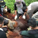 Orang Utans von chinesischem Damm bedroht - Rare Sumatran Orangutan threatened by dam project!