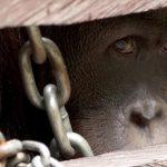 Ein ehemaliger Schmuggler berichtet vom schrecklichen Orang-Utan-Babyhandel - The Baby Trade
