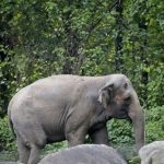 Endlich! Das Menschenrecht auf Freiheit für Happy – ein 47 Jahre alter asiatischer Elefant! – Free Elephant Happy! Gradually, nervously, courts are granting rights to animals
