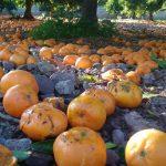 Gewusst? Während die EU aus Südafrika billig Zitrusfrüchte importiert - vergammeln tonnenweise Zitrusfrüchte in Spanien