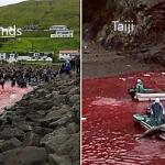 Blutbad - Massaker vor Japan und  Färöer-Inseln - Delfinblut taucht das Meer in tiefes Rot!