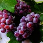 Der helle Wahnsinn! Essen Sie gerne Weintrauben? Besser nicht - wir erklären warum! - Don't eat this! Bitter Grapes!