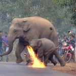 Grausam - Elefanten,  angezündet von Menschen - Villagers attack elephant and calf with firebombs