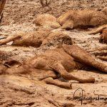 Erschütternde Bilder und Videos - Ganze Viehherden von einer katastrophalen Sintflut ausgelöscht! - Floods kill 500,000 cows in Australia