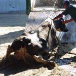 """Fleischskandal """"Kranke Kühe"""" Essen Sie lieber kein Rindfleisch - Sie werden solche Szenen nicht einmal in Horrorfilmen sehen! - 'Sick cow' meat scandal - A tainted meat scandal is rocking Europe!"""