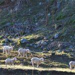 Irrsinn!  Die natürliche Vielfalt geht verloren - geklonte transgene Schafe und Schweine!
