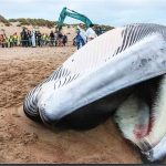 Was Plastik anrichtet – schon wieder zwei tote Wale vor Spanischer Küste angeschwemmt! - Plastic pollution! Two dead whale on the beach of Spain in just 15 days!