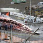 Hurra - Kein Walfang in isländischen Gewässern in diesem Sommer - Iceland: No Whaling this Summer