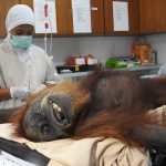 Ein kleiner Baby-Orang-Utan stirbt an Hunger, nachdem die Mutter mit 74 Kugeln erschossen wurde - Baby orangutan dies of hunger after mother shot and badly injured