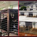 Grausam! Lebenslanges Leiden von Bären und Tigern in Massentierhaltungen! – The horrific cruelty of tiger farms and bear bile farms
