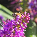 Mellifera - Wie die Honigbienen gegen Monsanto gewannen! Die zerbrechliche Welt der Honigbienen - LAS DAMAS DE LA MIEL
