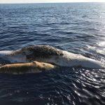 Traurige Entdeckung bei Italien! Pottwalmutter mit ihrem Baby tot in einem Fischernetz