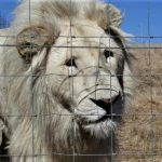 Schrecklich! Löwen werden in Afrika als Rohstoff für fragwürdige Heilmittel in Asien gezüchtet - Big cat farms in South Africa, Lions being farmed for traditional medicine