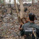 Indonesien brennt aus Gier! Der letzte Lebensraum der Orang Utans geht in Flammen auf!