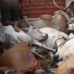 Schreckliche Aufnahmen aus der Lederindustrie zeigen - Tiere werden lebend gehäutet und ihre Beine werden abgehackt - Harrowing images from leather industry show animals skinned alive