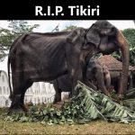 R.I.P. Tikiri, der Skelettelefant aus Sri Lanka ist gestorben - Emaciated elephant Tikiri dies after '70 years a slave'