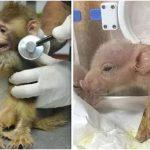 Die ersten Affen-Schweine-Hybriden  im chinesischen Labor geboren - In a world first, Chinese scientists engineer monkey-pig hybrids