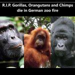 R.I.P. - Müssen dieseAffenvor Schmerzen und Angst geschrieen haben! Affenhaus im Krefelder Zoo abgebrannt! - Gorillas, orangutans and chimps die in German zoo fire!
