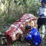 Grausam: Für Schmuck und traditionelle Medizin - der illegale Handel mit asiatischen Elefantenhäuten boomt - Elephant skin trade booming in Southeast Asia