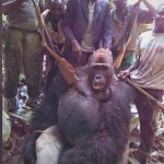 Grausam! Jäger posieren mit totem Gorilla! - Cruel picture shows armed men posing with gorilla that was 'shot dead'