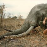 'SHAME ON YOU' - Was ist ein Elefant wert? Botswana verkauft Trophäenjagdlizenzen für 60 Elefanten! - Botswana sells 60 elephants for trophy hunts at first auction since it ended ban
