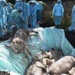 Bei Menschen Coronavirus ausgebrochen und bei den Tieren Vogelgrippe und Afrikanische Schweinepest! - Swine fever: 'Double punch' for countries facing COVID-19 threat