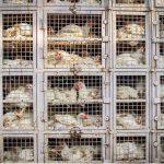 Das undurchsichtige System der Geflügelindustrie - Nicht nur Fleisch wird durch die Welt gekarrt, sondern auch Eier - sogar aus China importiert - The Truth About The Egg Industry