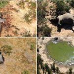 Niemand weiß, warum die Tiere sterben - Hunderte von Elefanten in Botswana tot aufgefunden- Botswana elephant graveyard: mystery death toll rises to 400