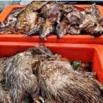 Sultan von Johor verbietet sowohl Jagd als auch exotisches Fleisch in Restaurant zu servieren- Johor Sultan tells restaurants to stop serving exotic meat