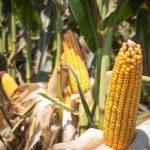 Mexiko macht es vor: Verbot von transgenem Mais und Glyphosat - Mexico's President will ban GMO corn and glyphosate
