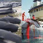 Die Giganten der Meere sind in Gefahr - Massensterben der Wale geht weiter! Sie stranden, verhungern und werden in Europa sogar für die Pelzindustrie gejagt! - It's Time to Save the Whales - mass stranding, they are starving and Norway is killing whales to feed mink on fur farms